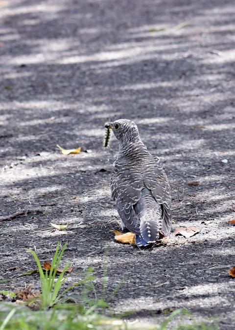 ツツドリ幼鳥6271