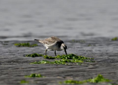 コオバシギ幼鳥4280