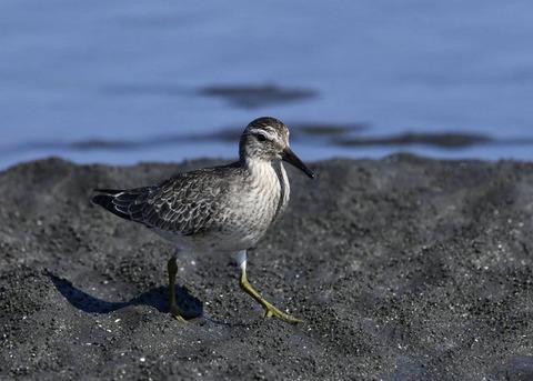 コオバシギ幼鳥0231