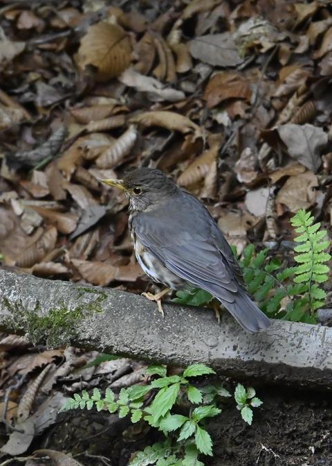 クロツグミ幼鳥6188