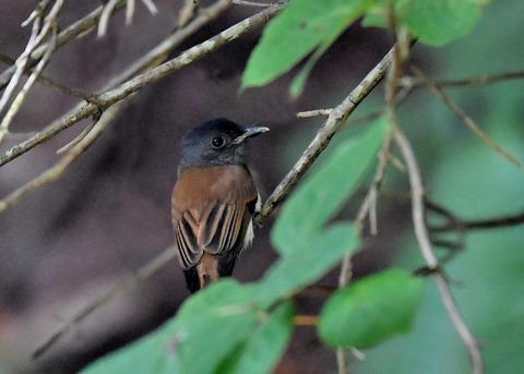 サンコウチョウ幼鳥5656