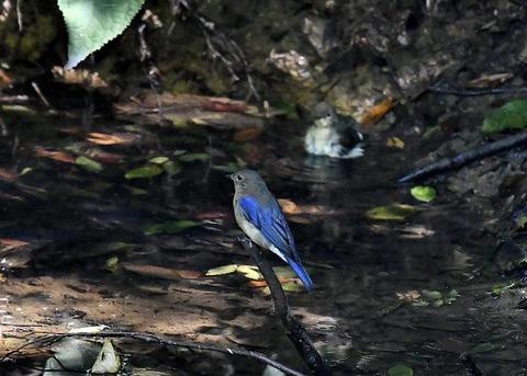 オオルリ幼鳥♂8147