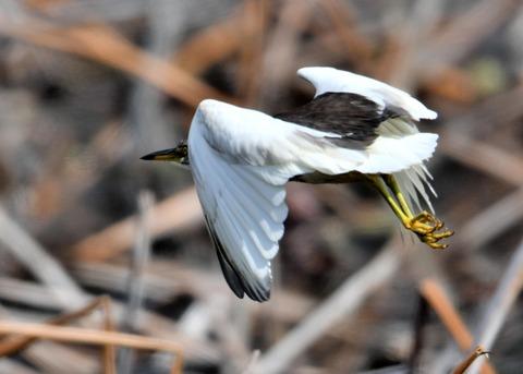 飛ぶ・アカガシラサギ9187