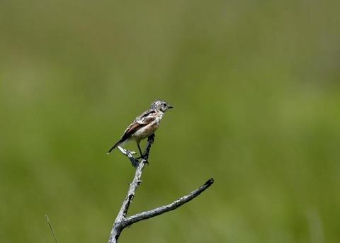 ノビタキ幼鳥5200