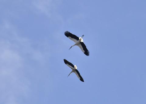飛ぶ・コウノトリ(きずな&きらら)7613