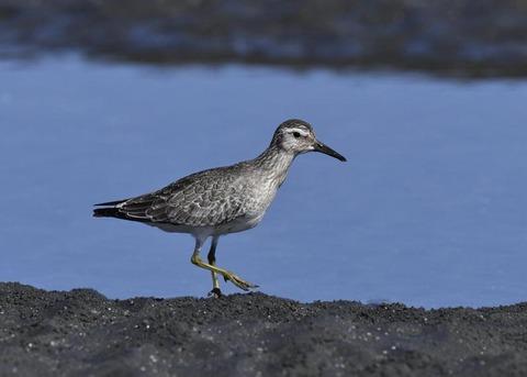 コオバシギ幼鳥0214