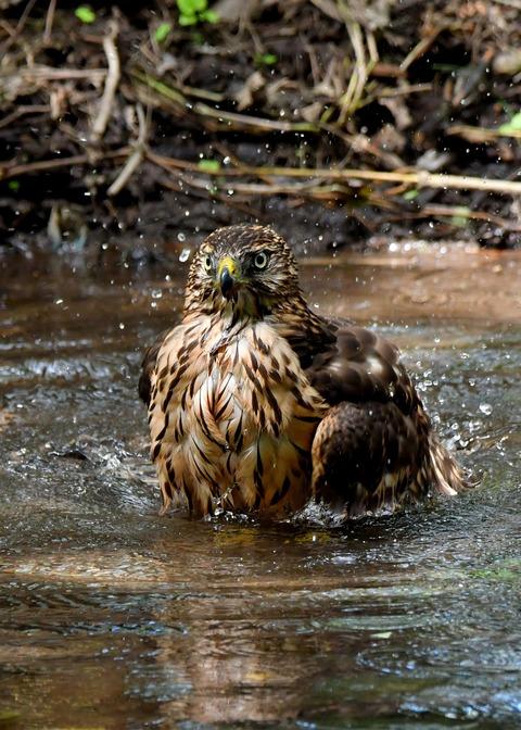 オオタカ幼鳥3909