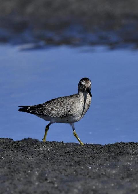 コオバシギ幼鳥0210