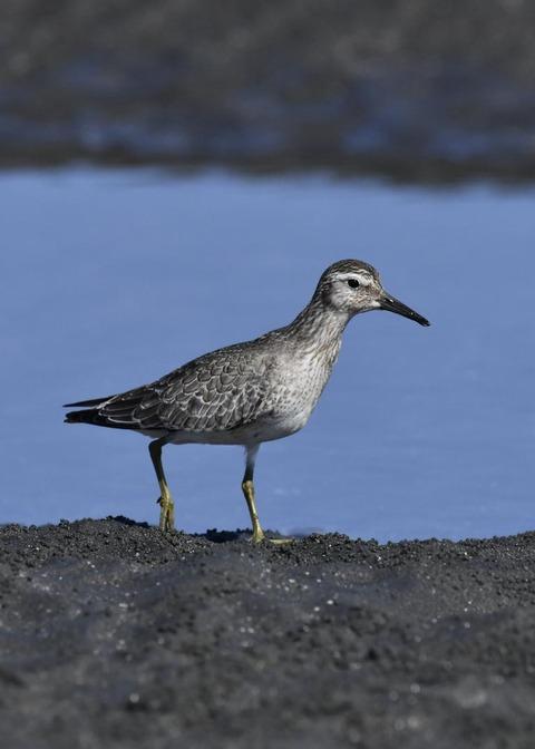 コオバシギ幼鳥0215