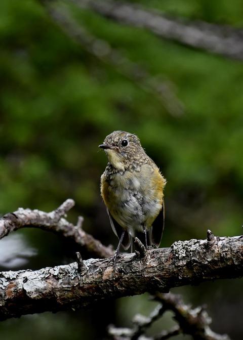 ルリビタキ幼鳥8758