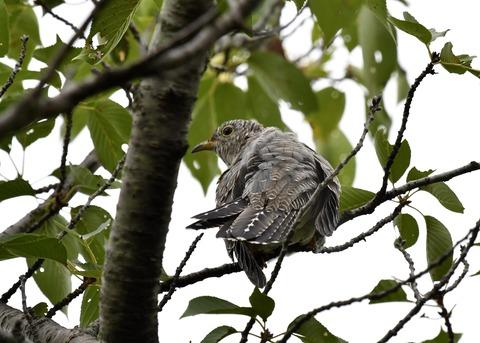 ツツドリ幼鳥5661