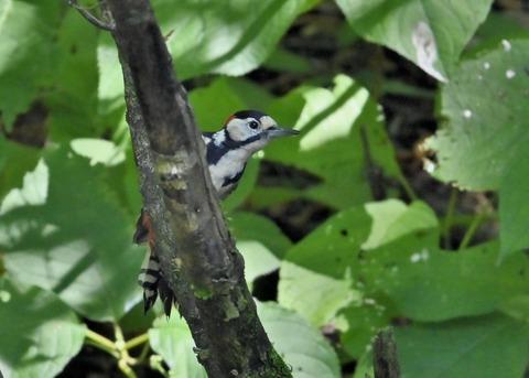 アカゲラ♂幼鳥3003