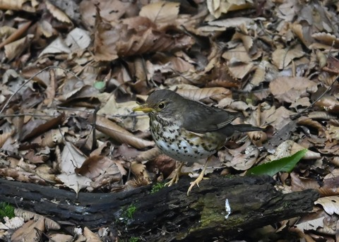 クロツグミ幼鳥6201