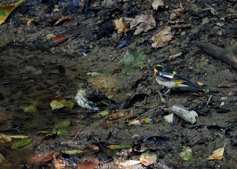 キビタキ♂と幼鳥3447