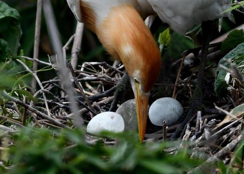 アマサギ(抱卵)4702-01