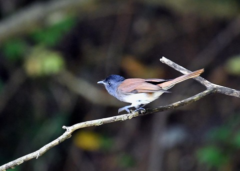 サンコウチョウ幼鳥5642