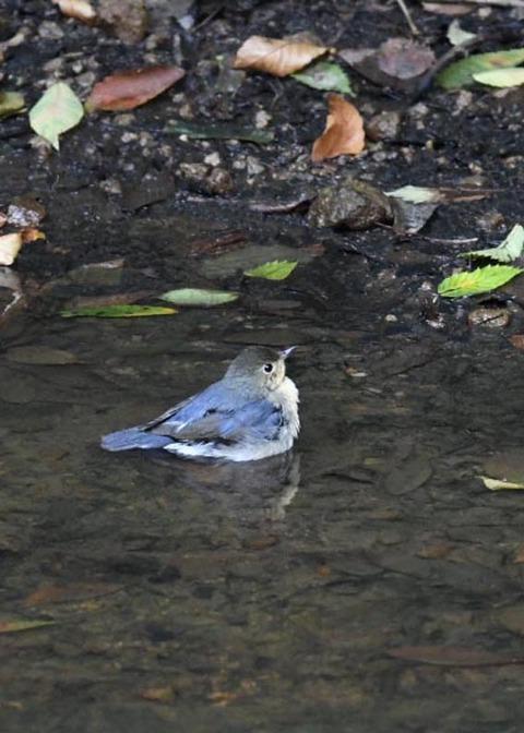 コルリ♂幼鳥7295