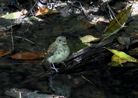 キビタキ幼鳥3459