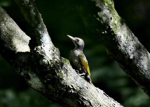 アオゲラ幼鳥♂8497