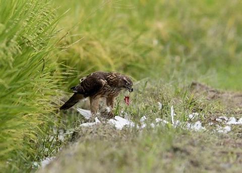 オオタカ若鳥3191