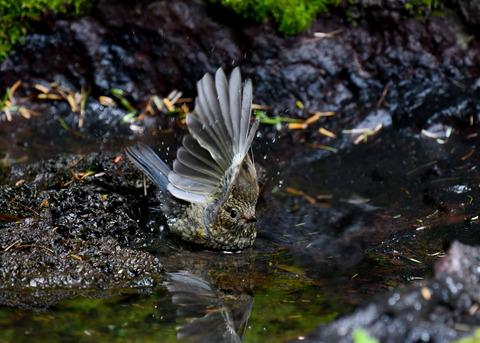 ルリビタキ幼鳥3070