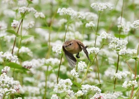 飛ぶ・ノビタキ♀9211