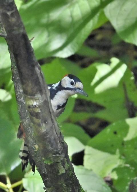 アカゲラ♂幼鳥3001
