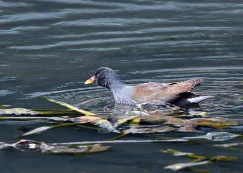 バン・若鳥2702