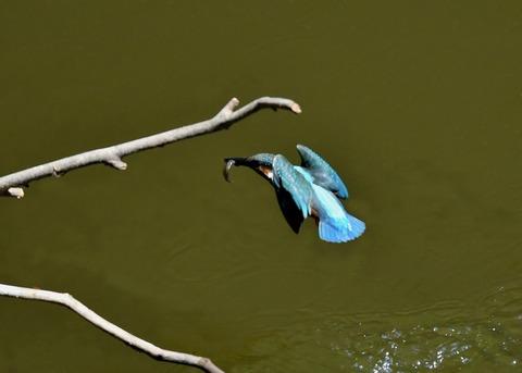カワセミ若鳥5158