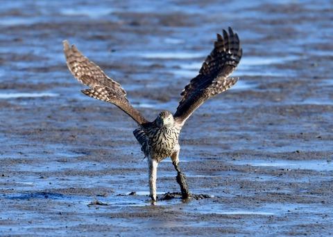 オオタカ若鳥0832