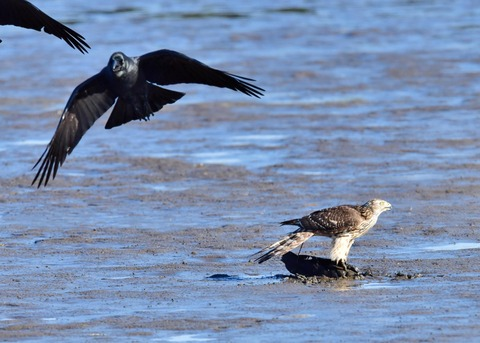オオタカ若鳥0671