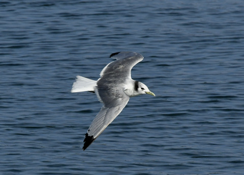 ミツユビカモメ成鳥5368