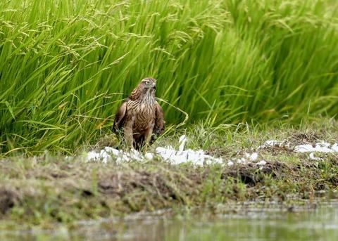 オオタカ若鳥3022