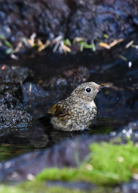 ルリビタキ幼鳥2547-02