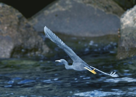 飛ぶ・クロサギ7287