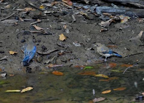 オオルリ幼鳥①②6325