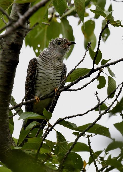ツツドリ幼鳥5594