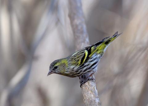 マヒワ若鳥3672