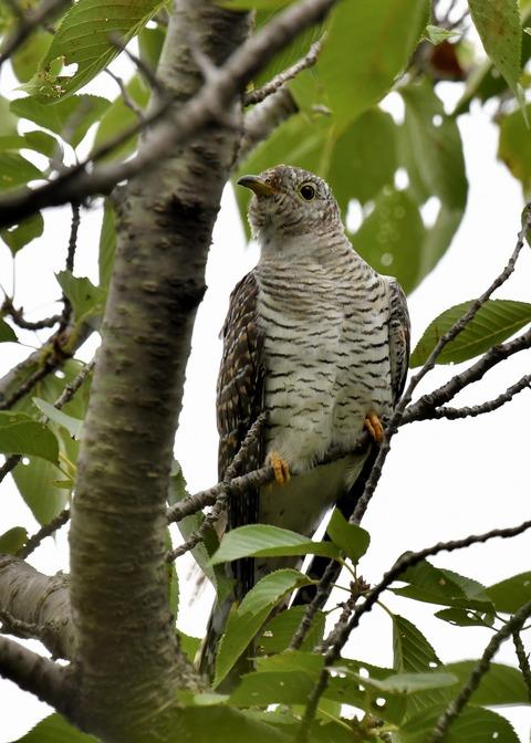 ツツドリ幼鳥5598