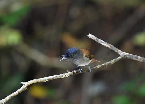 サンコウチョウ幼鳥5603