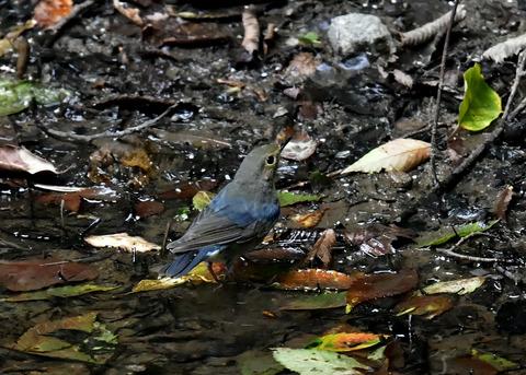 コルリ♂幼鳥4054