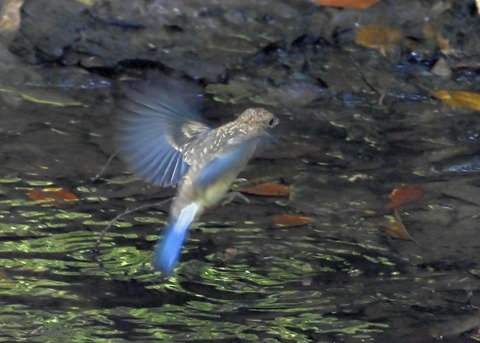 オオルリ♂幼鳥4372