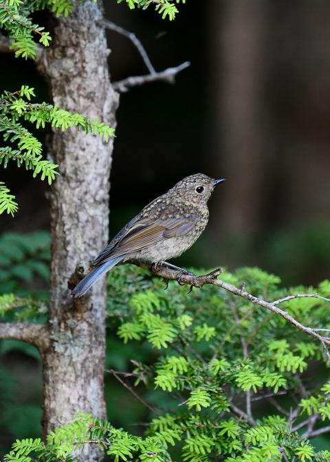 ルリビタキ幼鳥2548