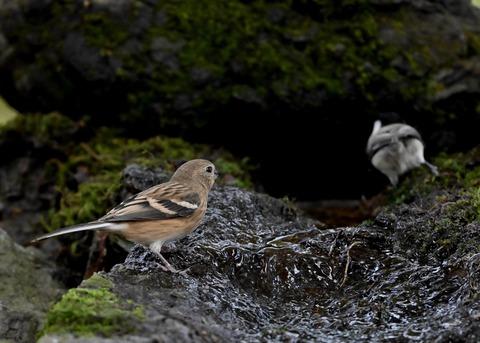 ベニマシコ♀冬羽1841