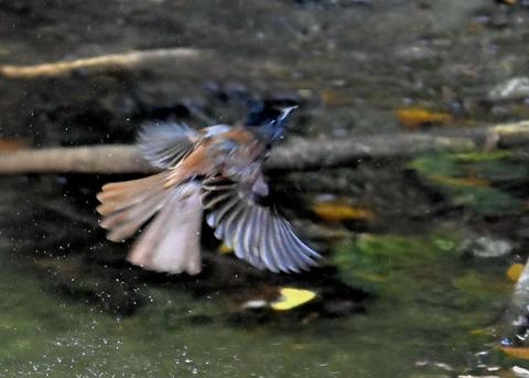 サンコウチョウ幼鳥6243