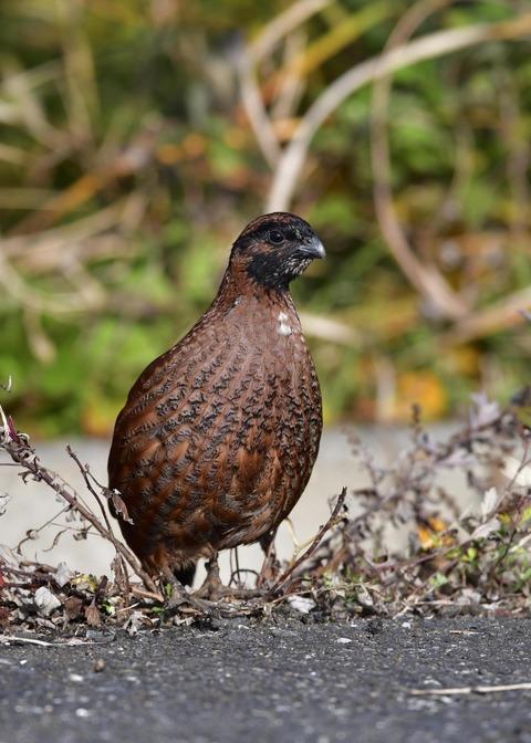 コリンウズラ若鳥1735