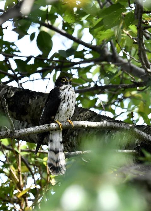 ジュウイチ幼鳥2856