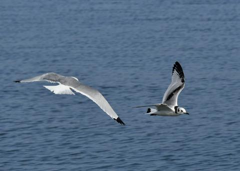 ミツユビカモメ第一回冬羽と成鳥5016