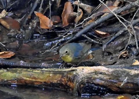 コルリ♂幼鳥2628