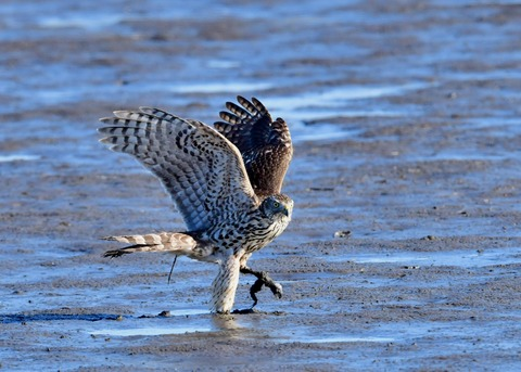 オオタカ若鳥0798